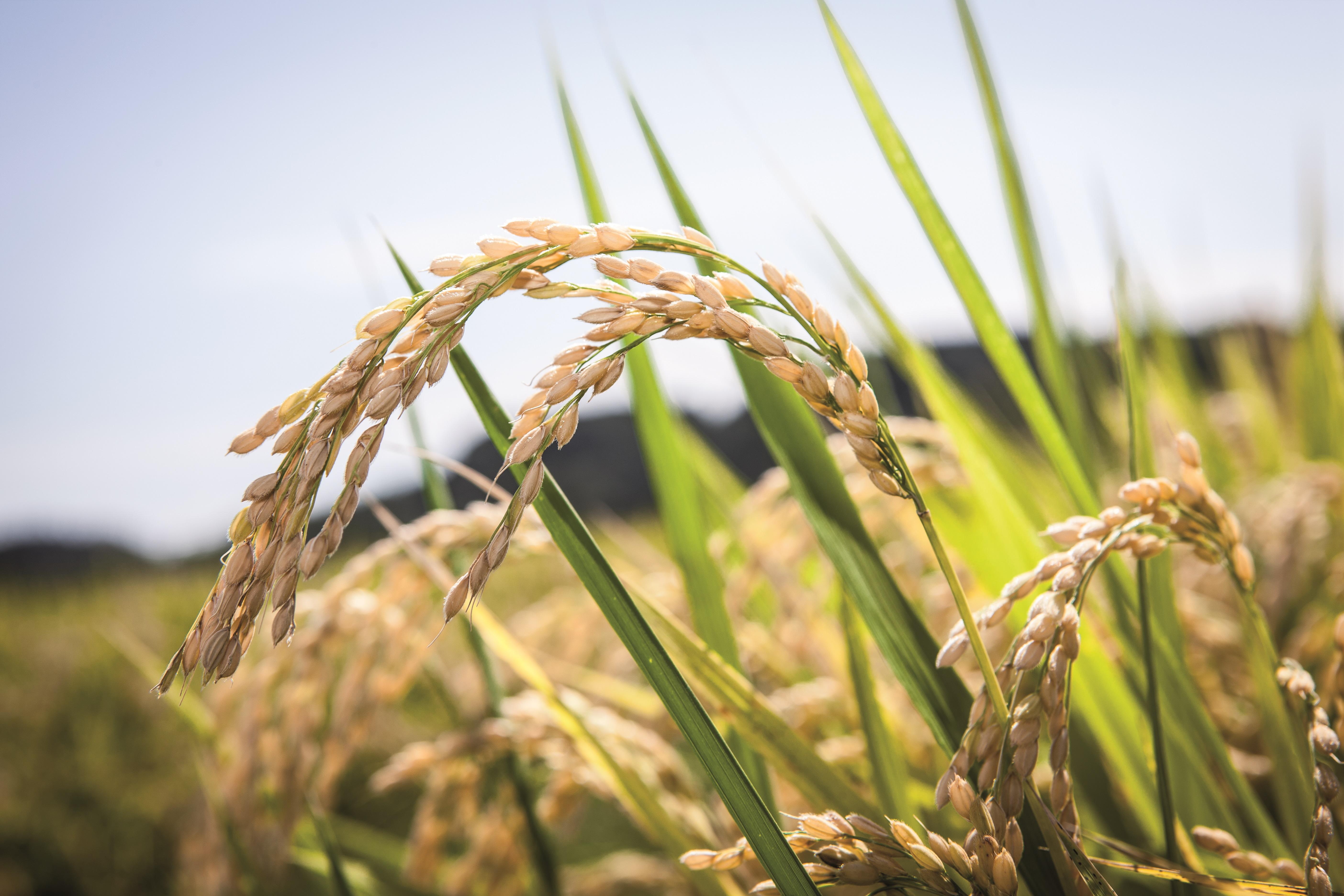 Control de helminthosporium en arroz Hpv high risk quest